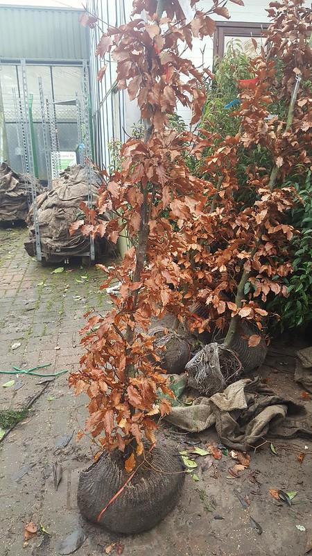 Copper Beech/Fagus 32480759872_3854ef589b_c