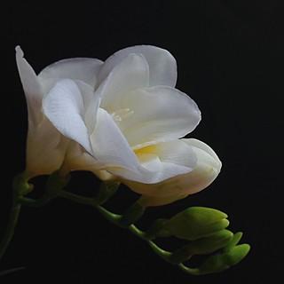 Freesia alba