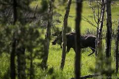 deer(0.0), woodland(1.0), tree(1.0), nature(1.0), moose(1.0), fauna(1.0), forest(1.0), wilderness(1.0), wildlife(1.0),