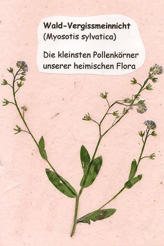Herbarium gepresste Pflanzen Mannheim Pfalz Odenwald Wald-Vergissmeinnicht Myosotis sylvatica
