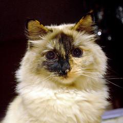 persian(0.0), domestic long-haired cat(1.0), nose(1.0), animal(1.0), british semi-longhair(1.0), small to medium-sized cats(1.0), pet(1.0), fauna(1.0), close-up(1.0), cat(1.0), carnivoran(1.0), whiskers(1.0), birman(1.0), himalayan(1.0),