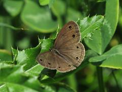 s:бабочки,s:дневные бабочки,c:коричневые,размах крыльев до 48 мм