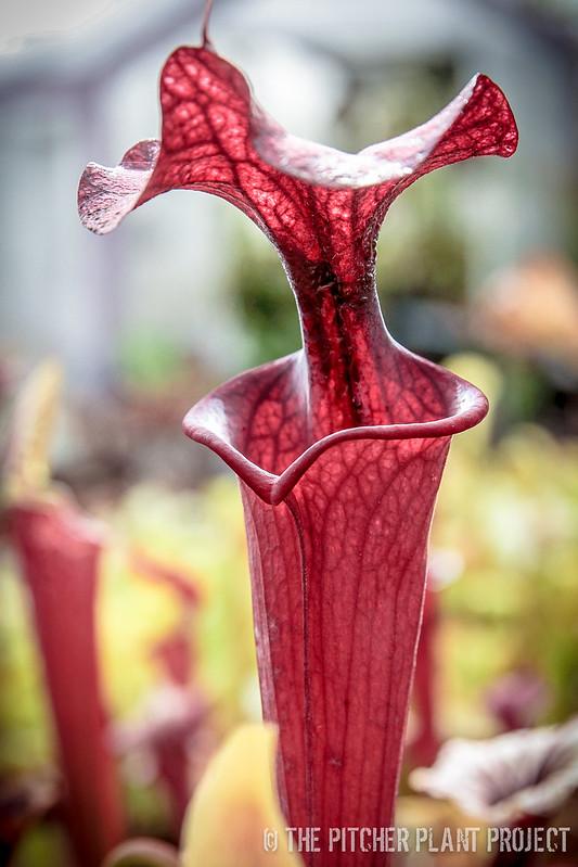 Sarracenia 'Alucard' x 'Adrian Slack'