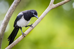 animal, branch, fauna, close-up, beak, eurasian magpie, bird, wildlife,
