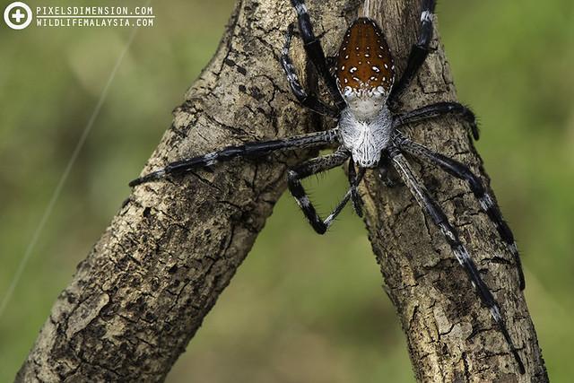 Tent Spider- Cyrtophora moluccensis ♀
