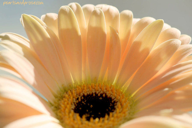 gerbera_fan_web