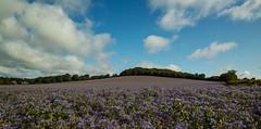 Borage Fields