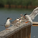 Forster's Terns by Americanchris