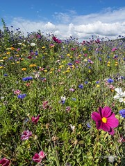 Wild flowers at the Vetch Field Allotments 7th Aug 2015 *12
