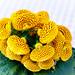 Calceolaria(칼세올라리아)