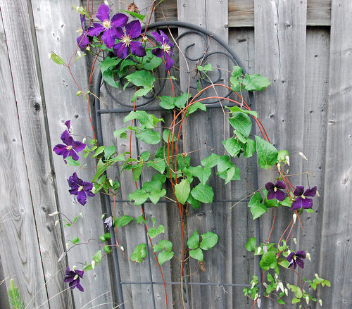 Summer blooming clematis