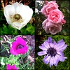 Anemones I planted earlier this year, and an exuberant rose in the garden July 3rd 2015