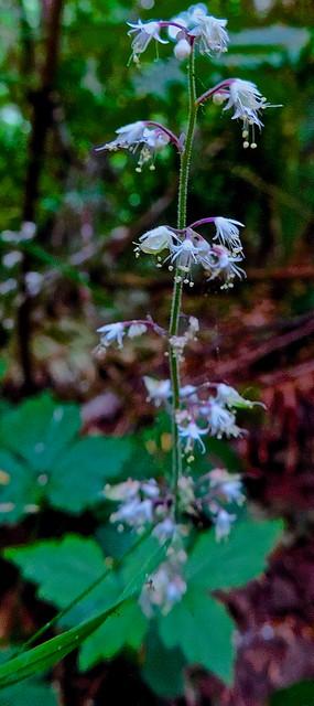Header of foamflower