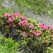 Rhododendron ferrugineum (Kerrie Porteous)