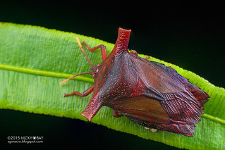 Giant shield bug (Pygoplatys sp.) - DSC_3842