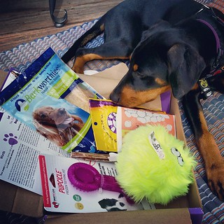 Penny got her 4 month #PupBox and she loves it! Use coupon code Lapdog10 for 10% off your first order! #puppygram #intsapuppy #dobermanpuppy #rescuedpuppiesofinstagram #puppyplaytime #puppytreats #puppytoys #puppiesofinstagram #puppylove #puppyyears #dobi