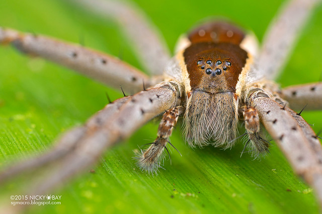 Fishing spider (Nilus sp.) - DSC_3815