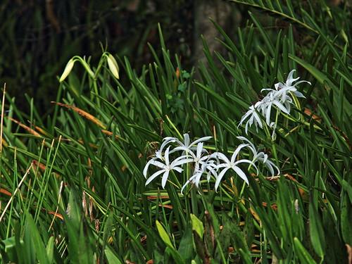 Marsh Lilies 20150722