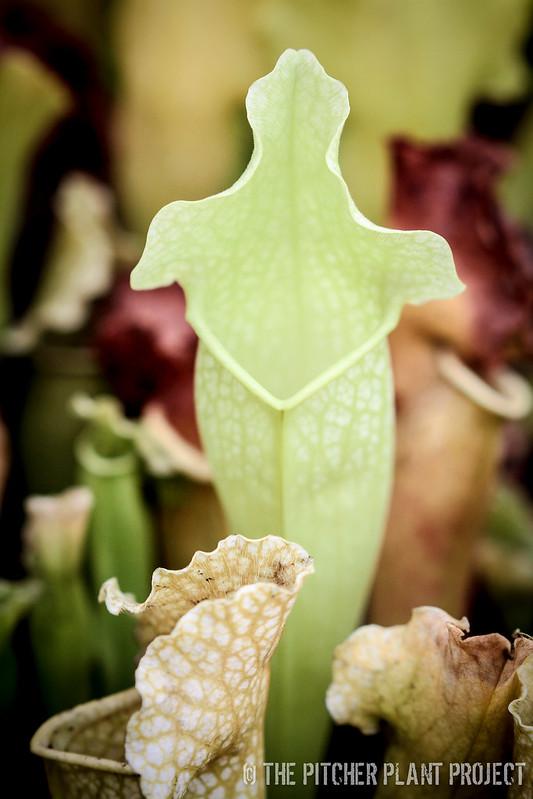 Sarracenia mitchelliana AF