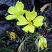 P20120721-0072--Oenothera elata ssp hookeri --RPBG by John Rusk