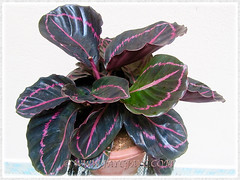 Our recently potted Calathea roseopicta 'Dottie' (Calathea Dottie, Rose-painted Calathea Dottie, Rose-painted Prayer Plant Dottie), July 8 2015