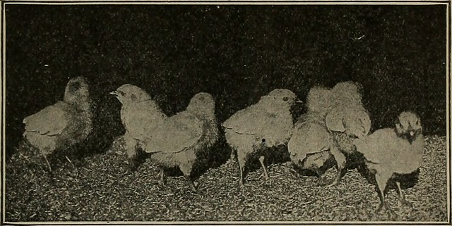 """Image from page 114 of """"Artificial incubating and brooding;"""" (1922)"""