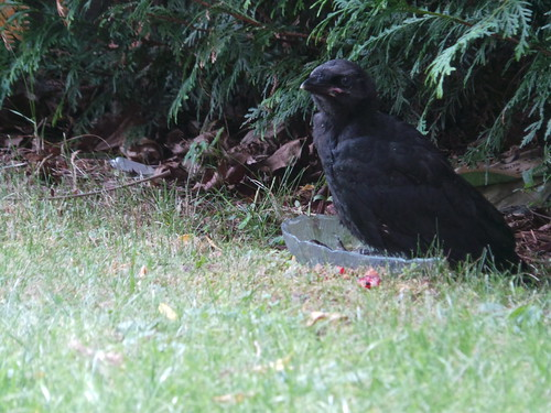 Baby crow finds a comfy spot in a water dish