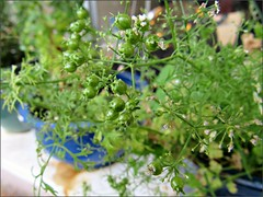 Coriander in progress