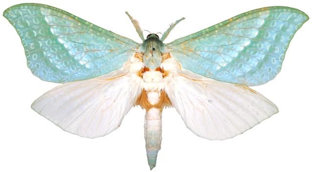 Aenetus mirabilis, male