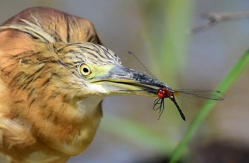 s squaccoheron ardeolaralloides gaborone gabarone botswana