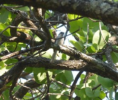 White-tailed Blue-Flycatcher