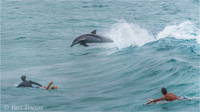 Dolphin & surfers