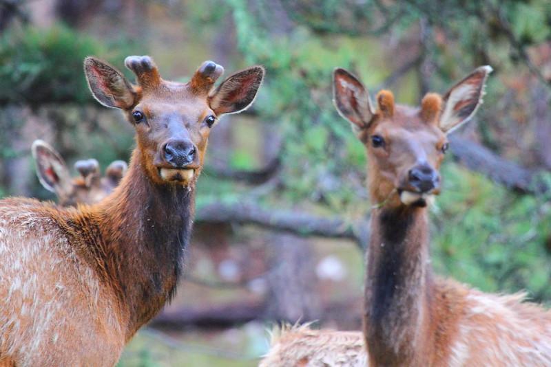 IMG_0205 Elk, Custer State Park