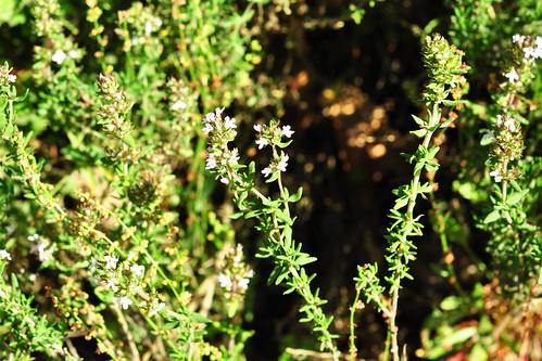 Odenwald Juni 2015 Wildkräuter Blüte Thymus vulgaris Foto Brigitte Stolle