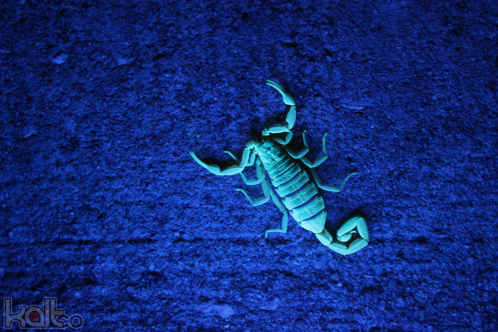 Striped Scorpion at Night