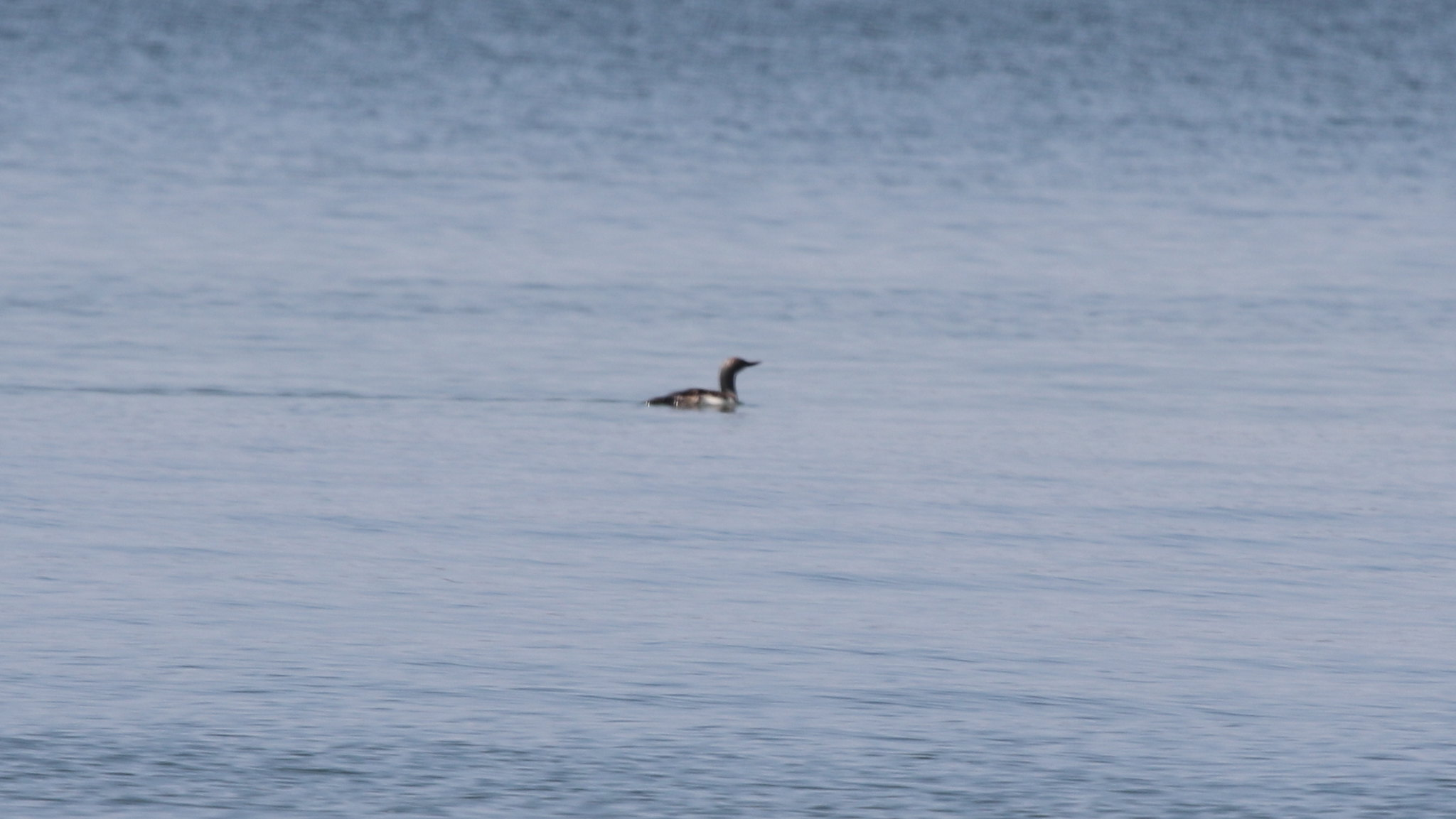 Red-Throated Loon - Kerr Res. - 07-25-2015