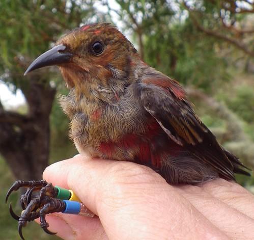 Color-banded juvenile 'Apapane