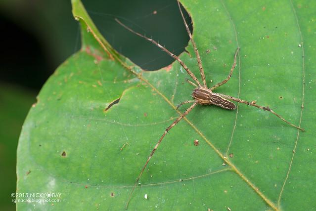 Nursery web spider (Pisauridae) - DSC_5543