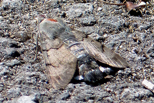 Hummingbird Hawk-moth Macroglossum stellatarum Tophill Low NR, East Yorkshire July 2015
