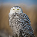 Snowy Owl  First one of the year by Vic Zigmont