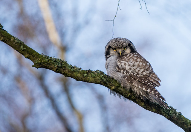 Northern Hawk Owl, Hökuggla, Surnia ulula