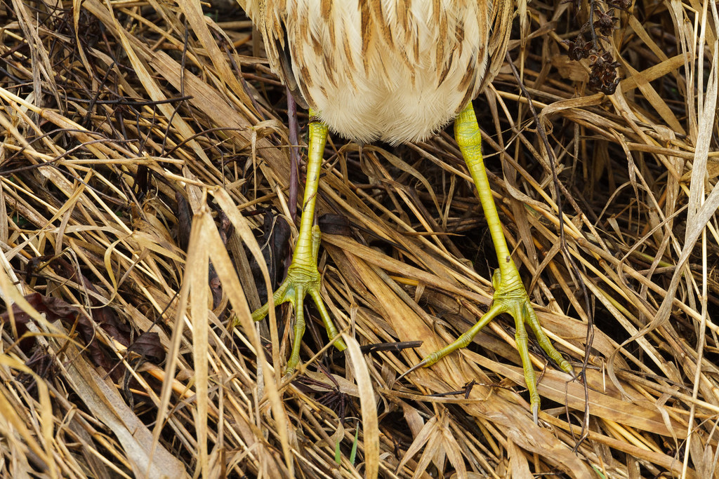 The yellow feet and legs of an American bittern