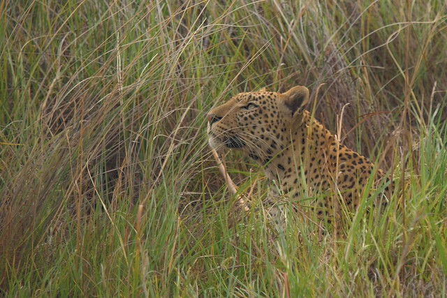 Leopard in the grass