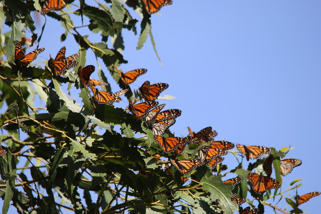 Vibrant monarch butterflies spread their wings while perched on the Eucalyptus tree.