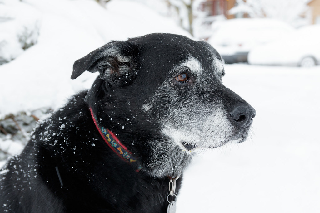 A close-up of our black lab Ellie in the snow