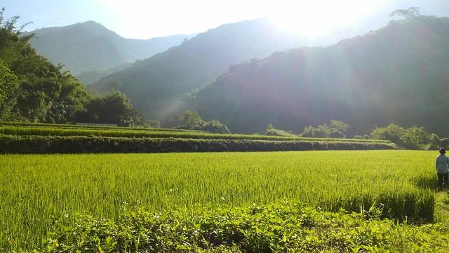 花蓮吉拉米代部落的水田。圖片來源:台灣環境資訊協會。
