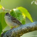 Bruant familier/Chipping sparrow-Morgan Arboretum-McGill,QC