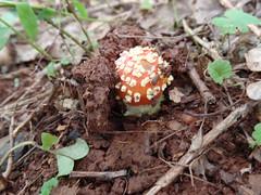 Mushrooms, spider