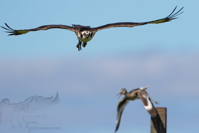Around the Osprey nest  8 6_29