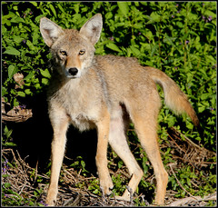 gray wolf(0.0), jackal(0.0), dhole(0.0), animal(1.0), dingo(1.0), czechoslovakian wolfdog(1.0), red wolf(1.0), mammal(1.0), grey fox(1.0), fauna(1.0), wolfdog(1.0), saarloos wolfdog(1.0), kit fox(1.0), coyote(1.0), wildlife(1.0),